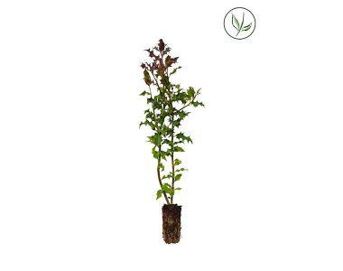 Hulst  Plugplanten 30-50 cm Extra kwaliteit