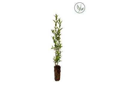 Gewone Liguster   Plugplanten 15-30 cm Extra kwaliteit