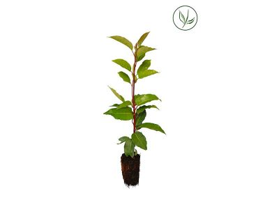 Portugese Laurier Plugplanten 15-30 cm Extra kwaliteit