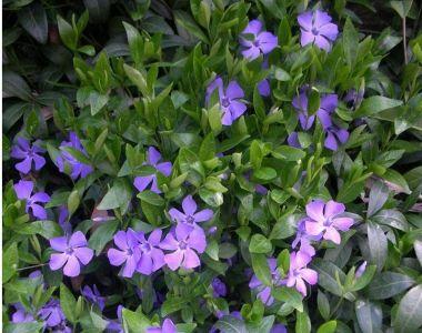 Kleine maagdenpalm - blauw
