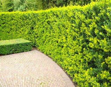 Japanse hulst 'Green Hedge'