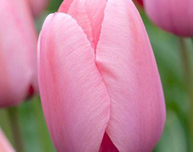 Tulp 'Pink Impression' 100x