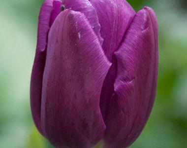 Tulp 'Purple Prince' 100x
