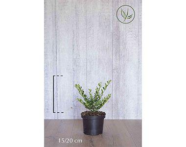 Japanse hulst 'Green Hedge'  Pot 15-20 cm Extra kwaliteit
