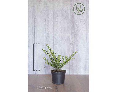 Japanse hulst 'Green Hedge'  Pot 25-30 cm Extra kwaliteit