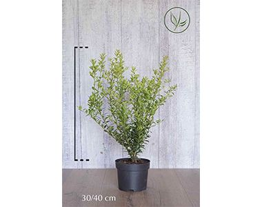 Japanse hulst 'Green Hedge'  Pot 30-40 cm Extra kwaliteit