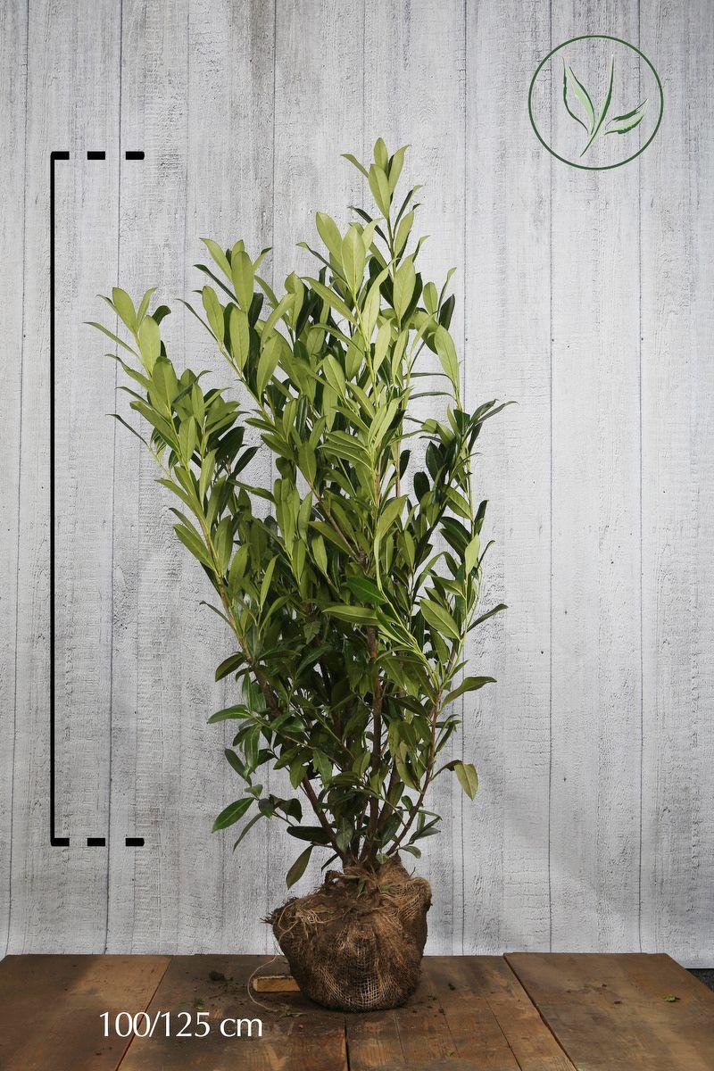 Laurier 'Caucasica'  Kluit 100-125 cm