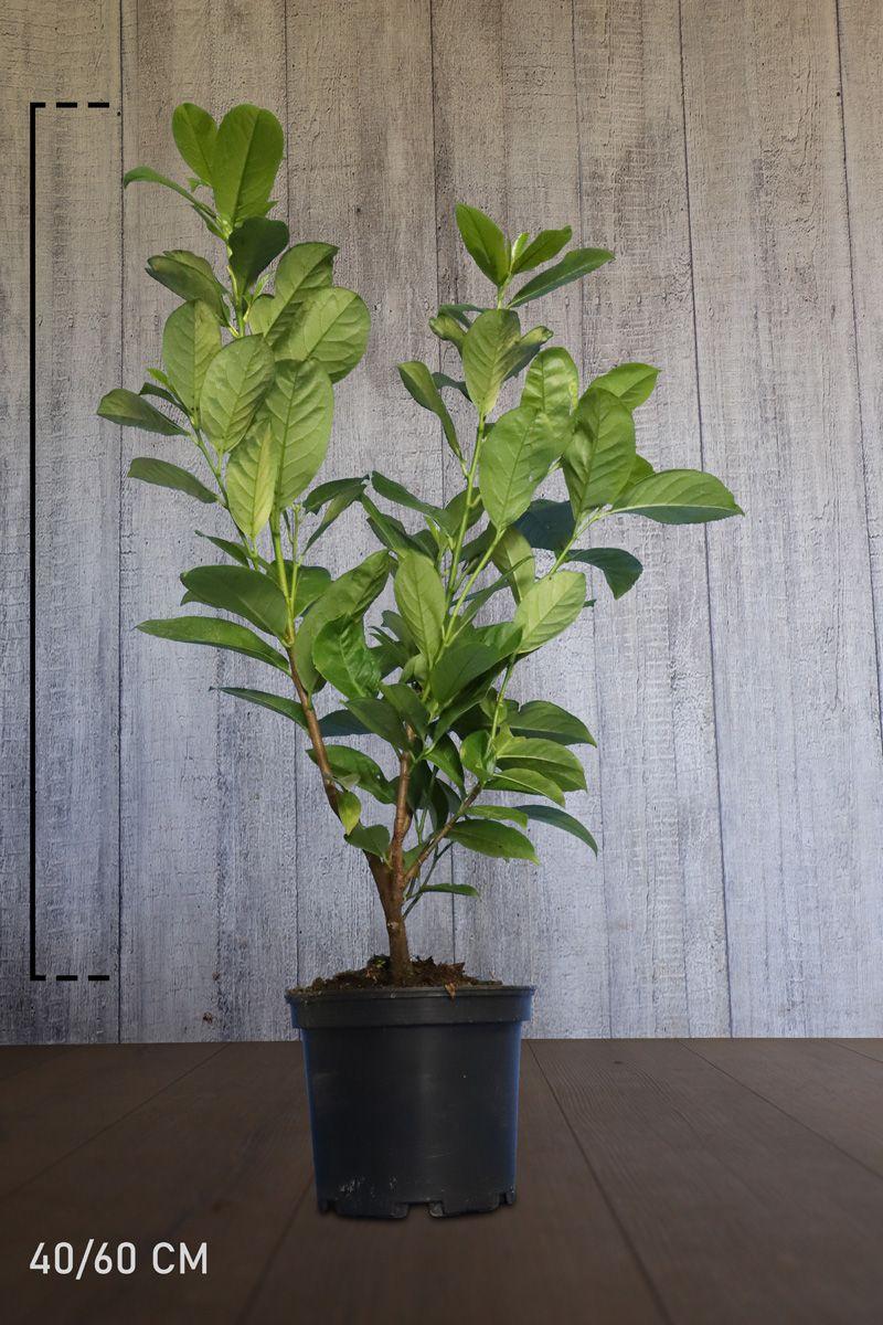 Laurier 'Rotundifolia'  Pot 40-60 cm
