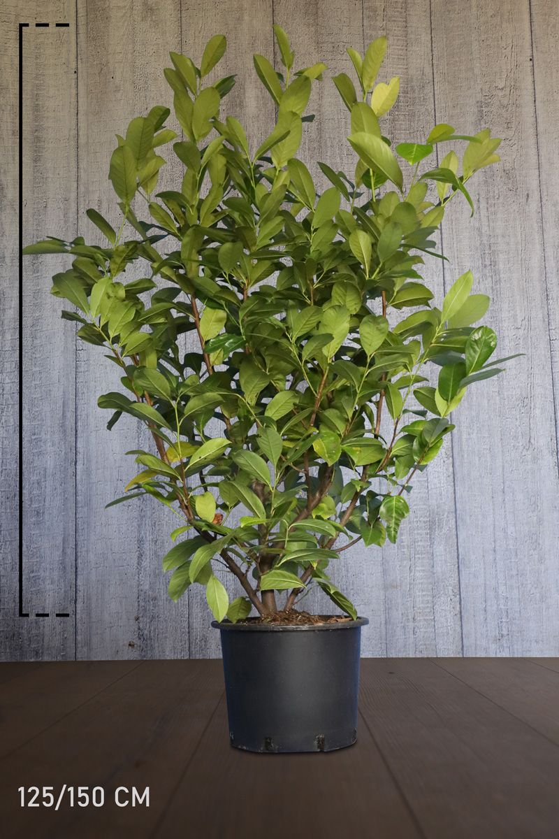 Laurier 'Rotundifolia'  Pot 125-150 cm Extra kwaliteit