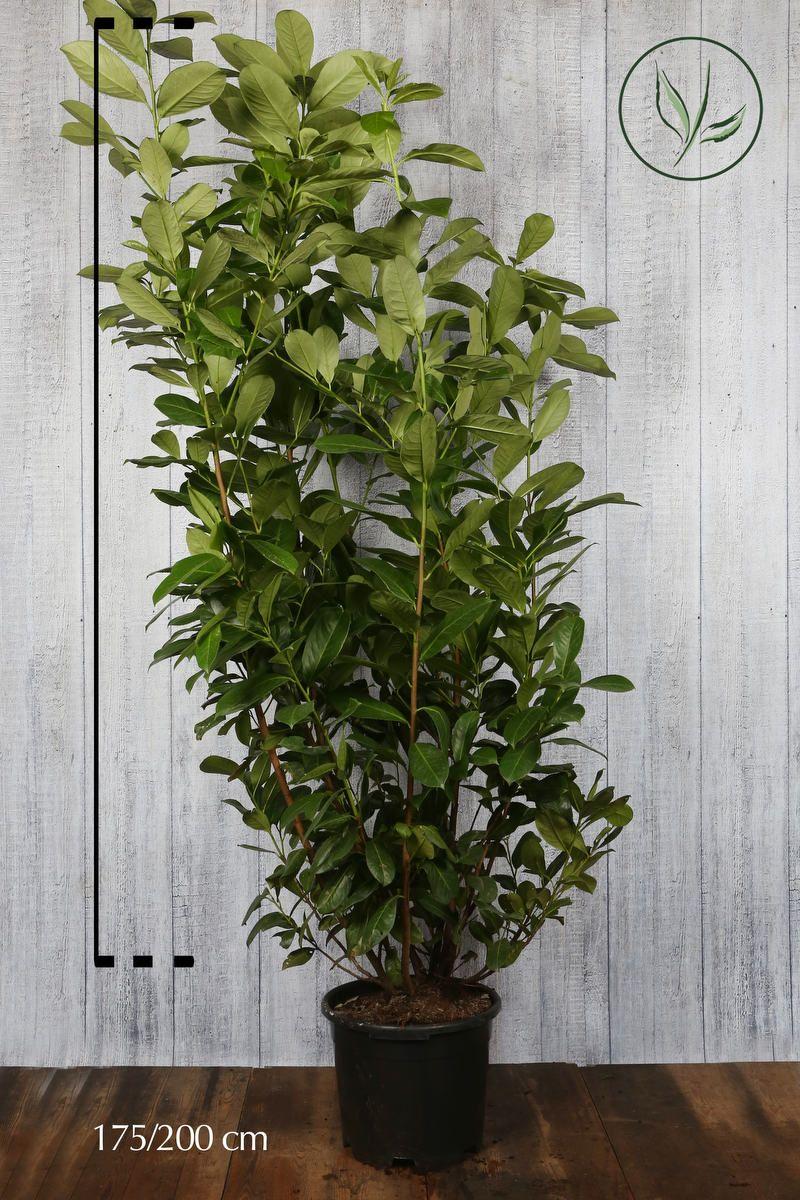 Laurier 'Rotundifolia'  Pot 175-200 cm