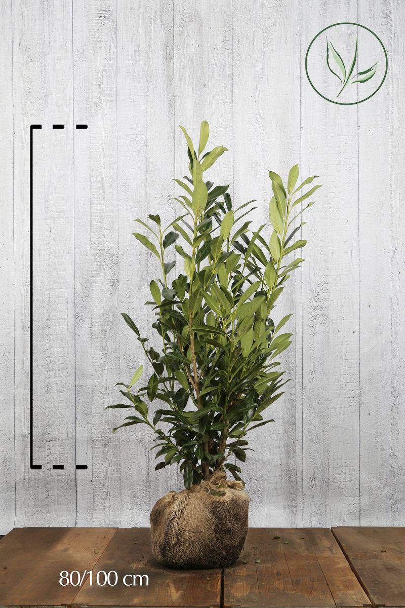 Laurier 'Caucasica'  Kluit 80-100 cm
