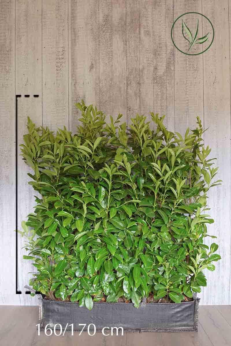 Laurier 'Rotundifolia'  Kant-en-klaar Hagen 160-170 cm Kant-en-klaar Hagen