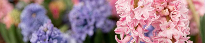 Hyacint sfeerfoto