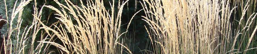 Calamagrostis_acu_ Karl_Foerster_sfeer