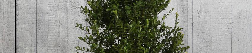 Japanse hulst 'Dark Green' ®