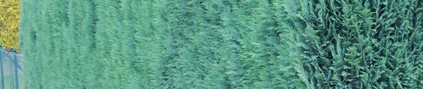 Blauwe Californische cipres online