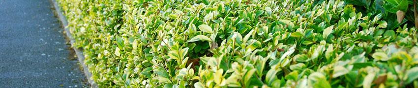 Bonte haagliguster planten in uw tuin