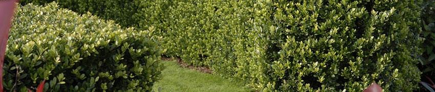 Waarom de buxus vervangen door Ilex crenata 'Dark Green' ®?