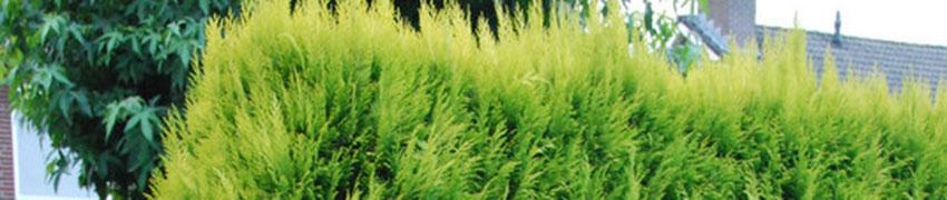 Chamaecyparis lawsoniana 'Ivonne' in de tuin