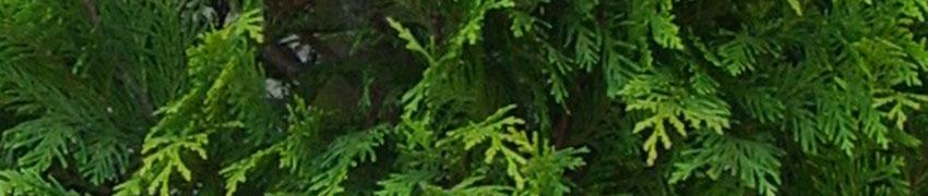 De Gele Californische Cipres 'Stardust' in uw tuin
