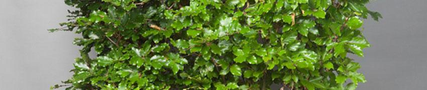 Groene beuk online kopen bij Haagplantenkopen.be
