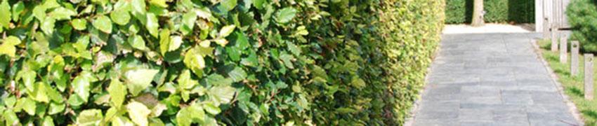 De groene beuk in uw tuin
