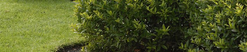 Is de Ilex 'Blondie' ® geschikt voor uw tuin?