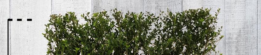 De Ilex crenata 'Green Hedge': ook geschikt als buxusvervanger