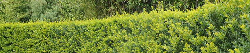 Ilex crenata 'Green Hedge' in goede conditie