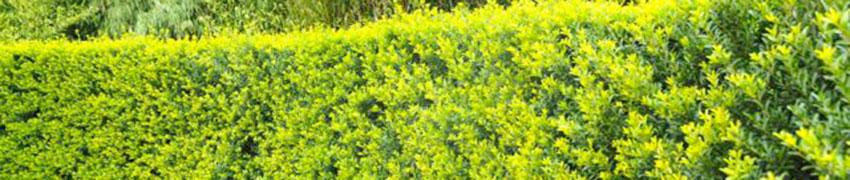 Ilex crenata 'Green Hedge' online kopen