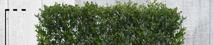 Ilex crenata 'Green Hedge' mooi houden