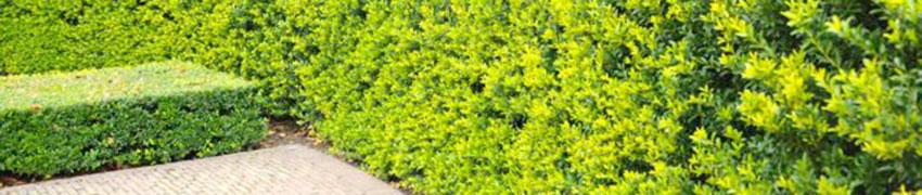 Een prachtige, wintergroene muur met Ilex crenata 'Green Hedge'