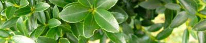 Kan de Ilex maximowicziana 'Kanehirae' overal worden aangeplant?