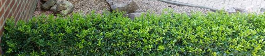 Ilex maximowicziana 'Kanehirae' als buxusalternatief