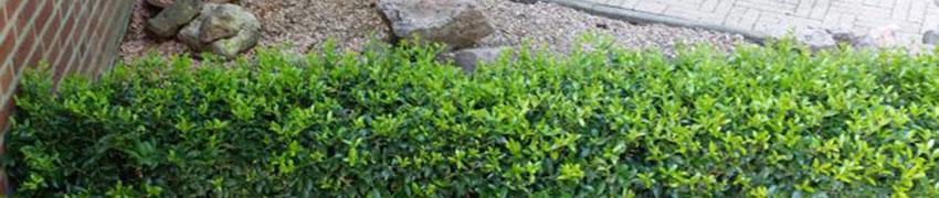Ilex maximowicziana 'Kanehirae' en zijn krachtige groei