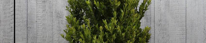 Ilex maximowicziana 'Kanehirae' online kopen