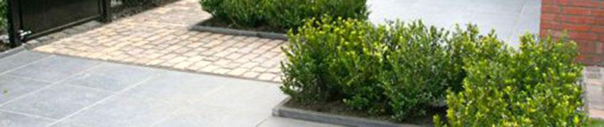 Ilex maximowicziana 'Kanehirae' in uw tuin