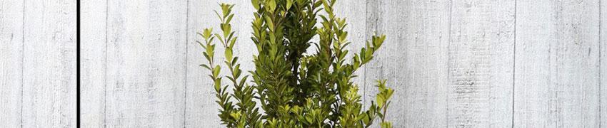 Ilex maximowicziana 'Kanehirae' onderhouden