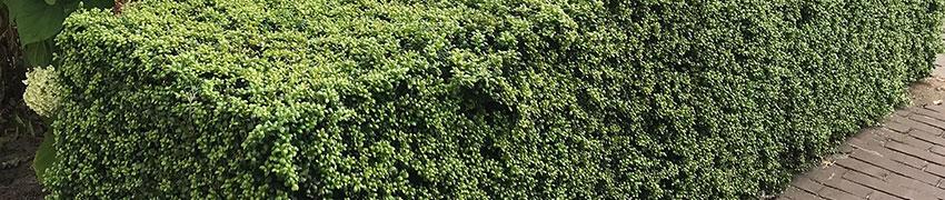 Japanse hulst 'Convexa' in uw tuin