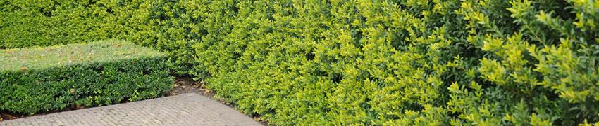 Ilex crenata 'Green Hedge' online bestellen