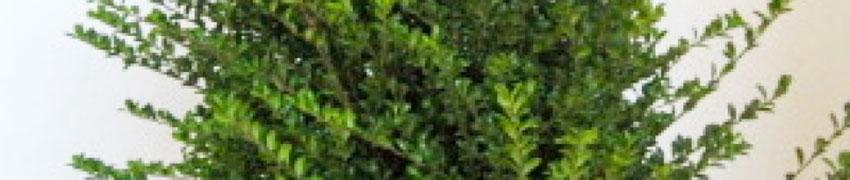 Japanse Ilex 'Convexa' online kopen bij Haagplantenkopen.be