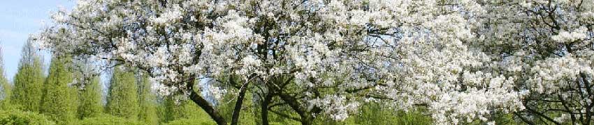 Krentenboompje bestellen bij Haagplantenkopen.be