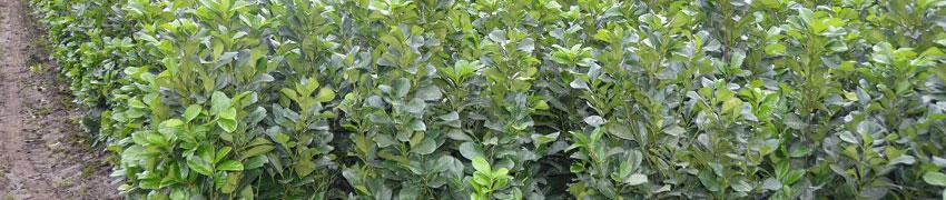 Laurier 'Etna' als haagplant