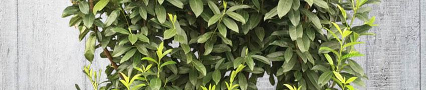De laurier 'Genolia' online kopen bij Haagplanten.be