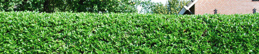 Laurier 'Rotundifolia' als haagplant