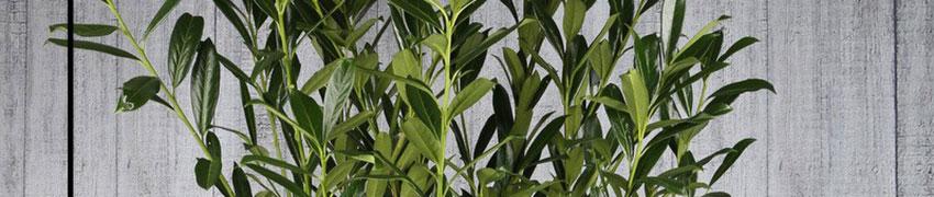 Laurier 'Herbergii' online bestellen