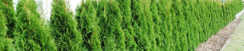 Levensboom kopen bij Haagplantenkopen.be