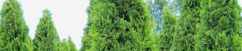 Levensboom of Thuja, een beetje geschiedenis