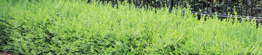 Lonicera nitida: het voordelige buxusalternatief