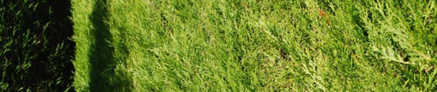 Online Gele Leylandii coniferen kopen